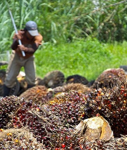 Palm Oil Commentary