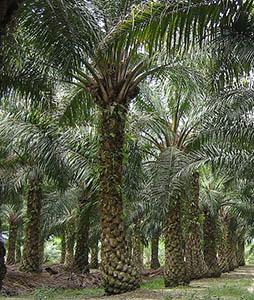 oil palm malaysia