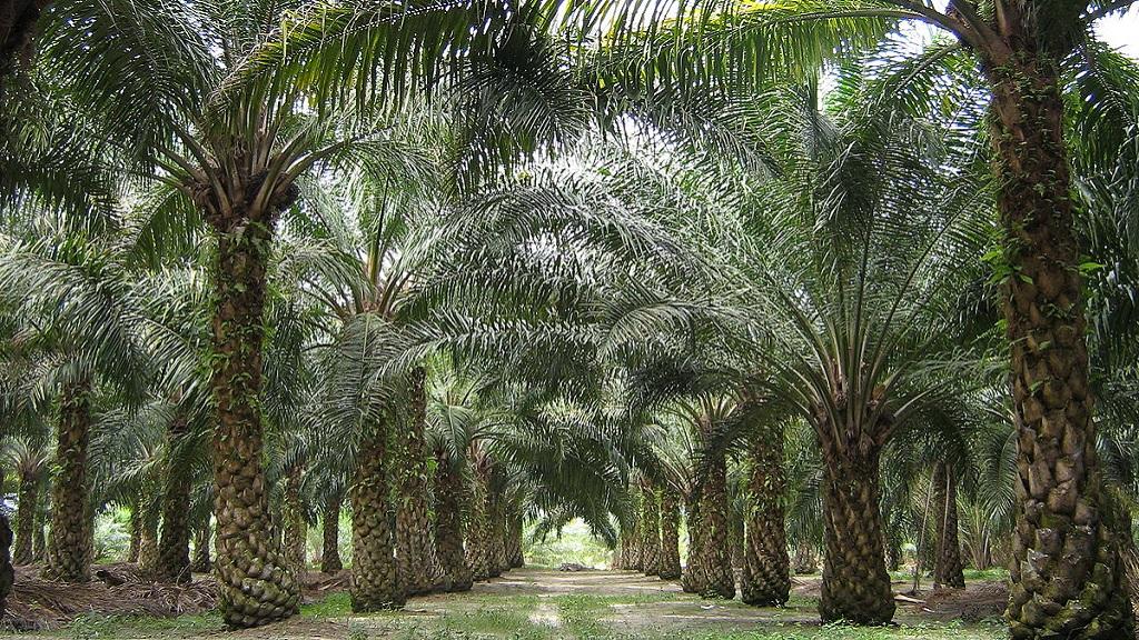 oilpalm-malaysia-169