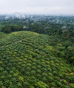 Aerial view of oil palm plantation_thumbnail 254 by 300px=