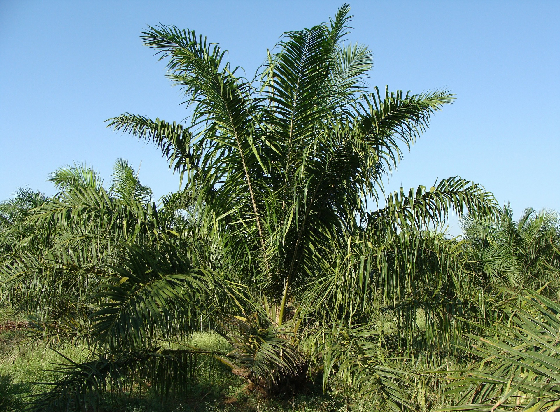 oil-palm-287899_1920